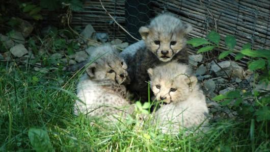 Zwei der drei Jungtiere mussten bereits eingeschläfert werden. Das Weibchen ringt derzeit mit seinem Leben.