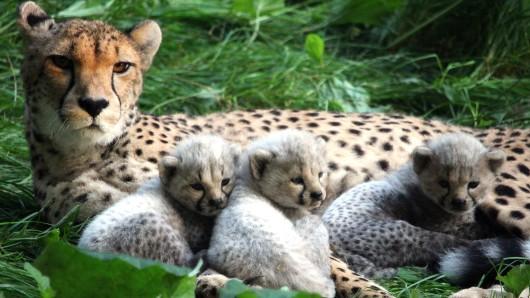 Gepardin Sima und ihre drei kleinen, mittlerweile gestorbenen Kätzchen. (Archivfoto)