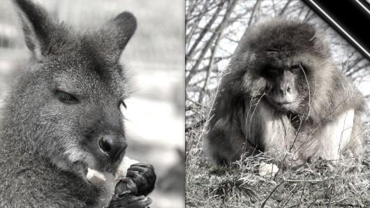 Der Thüringer Zoopark Erfurt nimmt Abschied von zwei seiner ältesten Bewohner: Berberaffe Mogwai im hohen Alter von 25 Jahren eingeschläfert worden. Und auch Bennett-Känguru-Mann Tommy, am Wochenende im Alter von 15 Jahren verstorben.