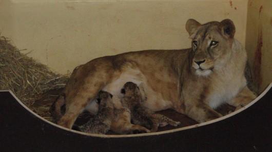 Die beiden kleinen Löwen kamen Karfreitag in Erfurt zur Welt.