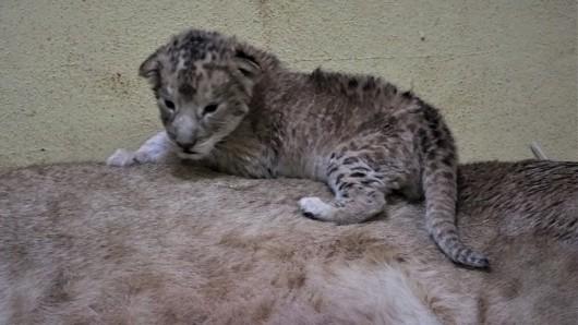 Löwin Bastet hat im Thüringer Zoopark Erfurt zwei junge Löwen zur Welt gebracht.