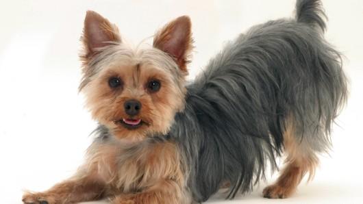 Hund Dusty aus Erfurt hat jahrelang glücklich bei seiner Familie gelebt. Doch jetzt hat das Schicksal zugeschlagen. (Symbolbild)