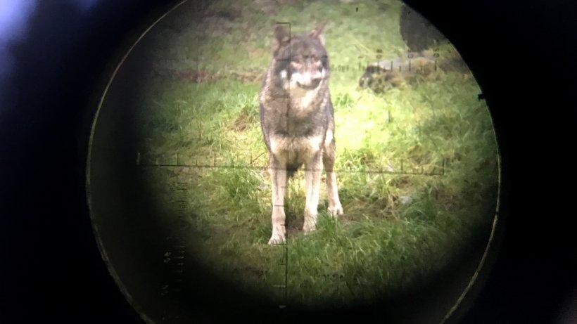 Wolf reißt mehrere Schafe in Thüringen – einem anderen droht weiterhin der Abschuss