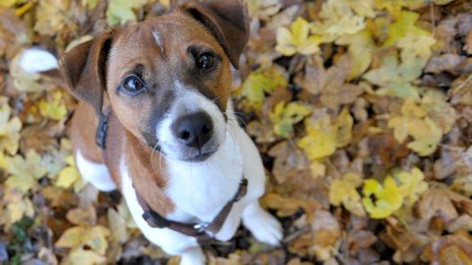 Hast du einen solchen Jack Russel Terrier gesehen? Der Rüde wurde offenbar ausgesetzt, Apoldas Hundevater bittet um Hilfe. (Symbolfoto)