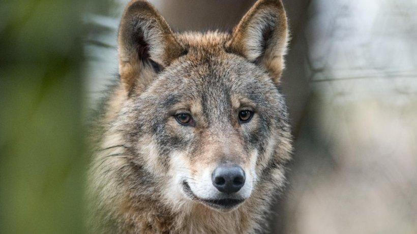 Wolf auf der A9 überfahren: Naturschutzbund fordert Grünbrücken
