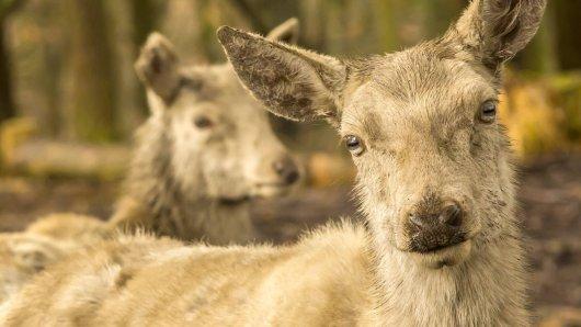 Eine Art Zombie-Krankheit breitet sich unter Rehen, Hirschen und Elchen aus. (Symbolfoto)
