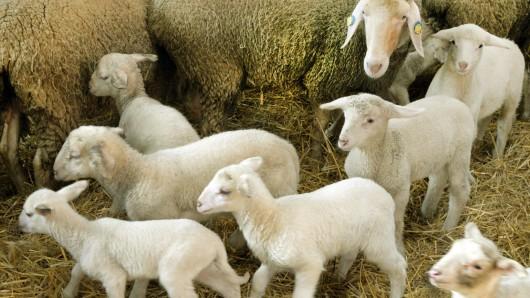 Tierquäler haben es in Thüringen auf Schafe abgesehen.