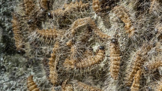 Der Eichenprozessionsspinner sieht harmlos aus - ist für Mensch und Tier aber verdammt gefährlich.