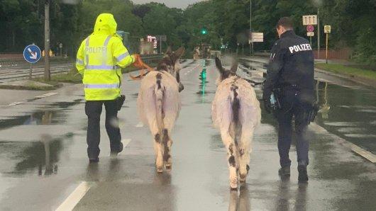 In Weimar sind am Dienstag zwei Esel und ein Pferd weggelaufen... Am Ende musste die Polizei kommen. (Symbolbild)