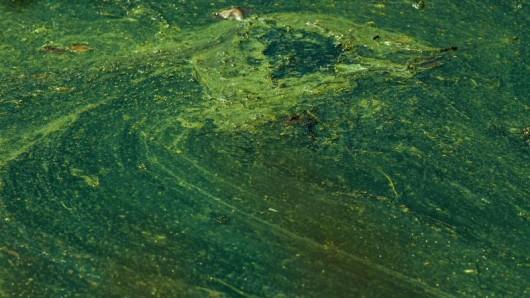 Einige Blaualgen bilden Giftstoffe, die für Badegäste gefährlich werden können. (Symbolfoto)