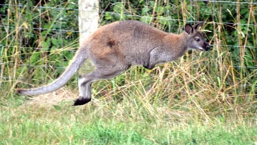 Ein vermisstes Känguru aus dem Altenburger Land hüpft offenbar noch immer frei herum. (Symbolfoto)