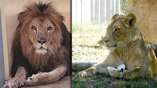 Der Löwenkater Aslam soll das neue Herzblatt von der kürzlich verwitweten Baset werden. Am Freitag zog er in den Erfurter Zoopark ein.