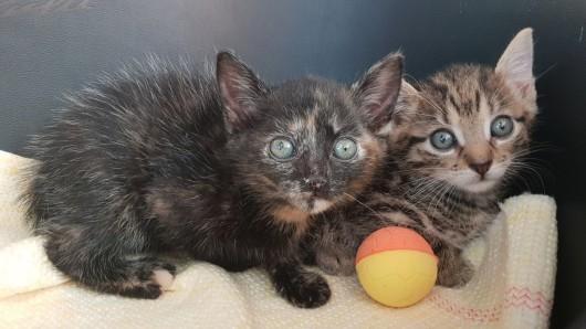 Mit einem zarten Alter von vier Wochen zogen Klein-Finja und ihr Brüderchen Frodo ins Tierheim Mühlhausen ein. Sie saßen verängstigt und ausgehungert vor dem Katzenhaus. Vermutlich wurden sie ausgesetzt.
