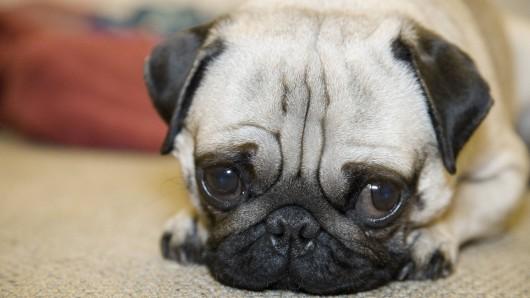 In Apolda soll ein Hundesbesitzer auf seinen eigenen Mops eingetreten haben. (Symbolfoto)
