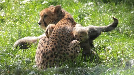 Das Geparden-Gehege im Zoopark Erfurt wurde vom Sturm in Mitleidenschaft gezogen. Zwei Tiere konnten entkommen.