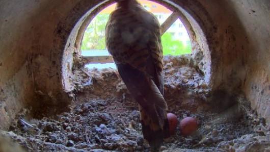 Die Turmfalken sind zurück: Die Turmfalken-Webcam im Thüringer Umweltministerium ist wieder online. Die Aufzucht der jungen Falken kann wieder live mitverfolgt werden.