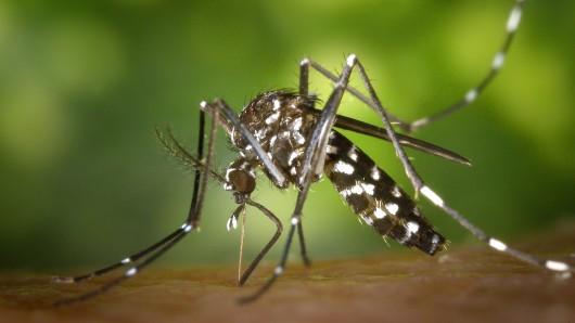 In Jena wurde die gefährliche Tigermücke festgestellt. (Symbolfoto)