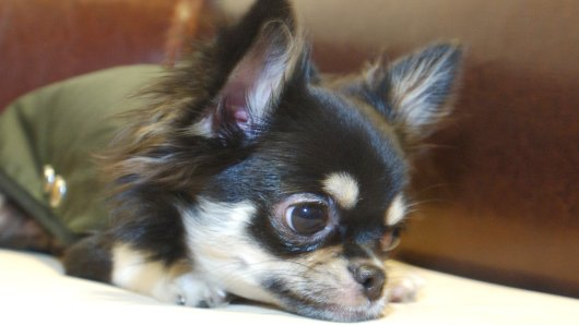 Ein Chihuahua ist in Jena auf der Straße von einem anderen Hund angegriffen worden. Was dann passiert, ist schrecklich. (Symbolfoto)