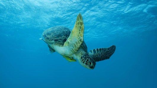 Alle Arten der Meereschildköten sind in ihrem Bestand vom Aussterben bedroht. Besonders unter der Vermüllung der Meere leiden die Tiere.