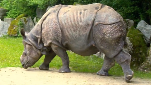 München Zoo: Nashorn Nico will nicht gerne auf die Waage.