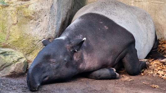 Der Geschlechtsakt bei Tapiren kann ganz schön schmerzhaft werden.