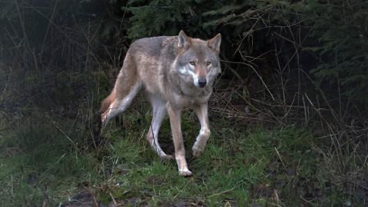 Der Wolf, der im Frühjahr das Muffelwild in Thüringen gerissen hat, stammt aus einem Rudel aus Bayern, wie eine DNS-Analyse ergab. (Symbolbild)