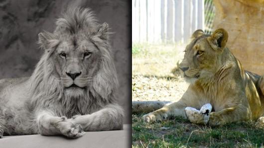 Nach dem plötzlichen Tod des jungen Löwenkaters Bagani ist seine Partnerin alleine in der Löwensavanne im Thüringer Zoopark. Das soll nicht lange so bleiben. (Montage: Zoopark Erfurt, Anna Jank)