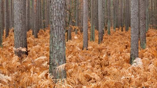 Mecklenburg-Vorpommern/Deutschland: Kiefernwald herbstlich gefärbt.