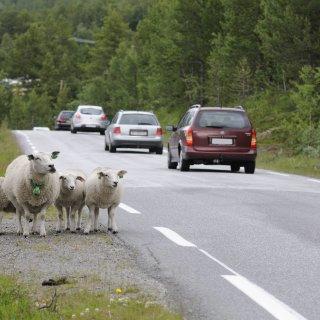 Eine ausgebüxte Schafherde hat sich am Montag auf die A4 bei Günthersleben verirrt. Zwei Lastwagen konnten nicht mehr ausweichen. (Symbolbild)