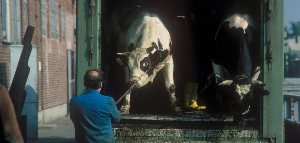 Videos wie aus einem Horrofilm sollen die destaströsen Zustände eines Schlachthofes in Oldenburg zeigen. Das Deutsche Tierschutzbüro ging mit den Aufnahmen an die Öffentlichkeit. (Symbolbild)