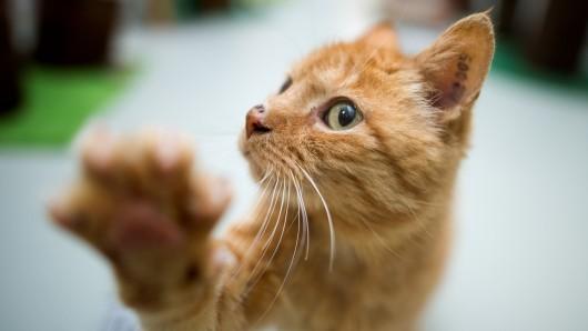 Eine Katze spielt im Katzenhaus im Tierheim.