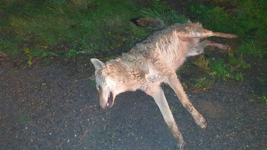Der überfahrene Wolf wurde am Fahrbahnrand bei Bad Klosterlausitz gefunden.
