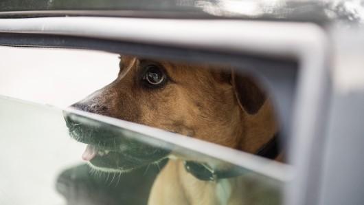 Manche lernen es wohl nie. Auch in Mühlhausen musste ein Hund von einer Passantin vor dem Hitzetod bewahrt werden. (Symbolbild)