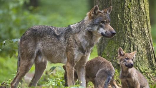 Thüringen: Ein Abschuss der Ohrdrufer Wölfin wurde zunächst verboten. (Symbolbild)