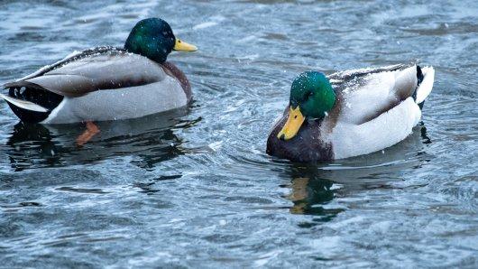 Mitarbeiter des Tierparks Gera haben die Wasservögel in der Stadt eingefangen. (Symbolbild)
