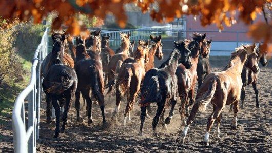 Eines der Pferde aus Thüringen hat sich schwer verletzt. (Archivbild)
