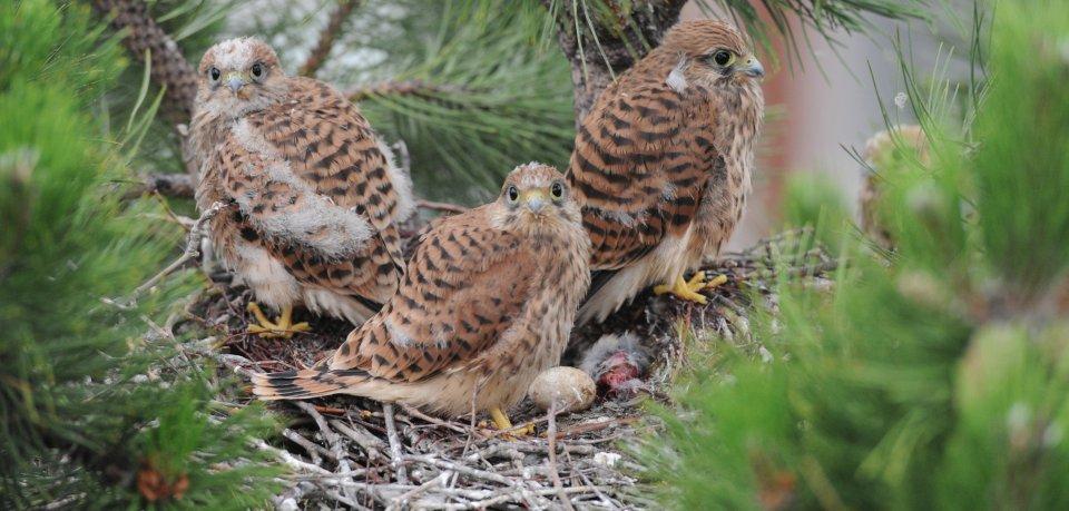 In Thüringen können Vogelfans des Schlüpfen der Falkeneier mitverfolgen. (Archivbild)