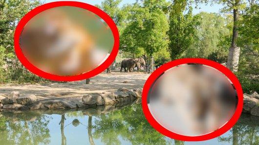 Diese Zoo-Tiere könnten ungleicher nicht sein. Trotzdem sind sie dicke Freunde geworden. (Symbolbild)