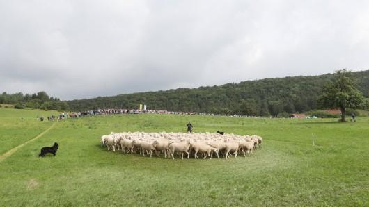 In Thüringen lebten vier Schafe in freier Wildbahn. Jetzt sind sie tot.