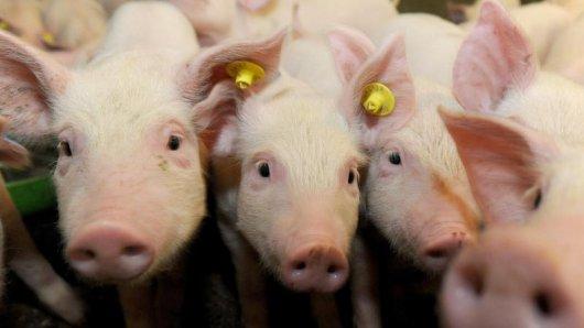 Mehrfach soll ein Zuchtbetrieb im Unstrut-Hainich-Kreis gegen den Tierschutz verstoßen haben. (Symbolbild)