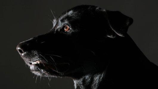 Ein Schäferhund-Labrador-Mischling, wie auf dem Symbolbild zu sehen, hat einen 5-jährigen Jungen gebissen. (Symbolbild)