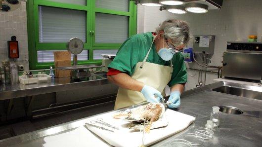 In Weimar ist der Erreger der für Geflügel hochansteckenden Newcastle-Krankheit festgestellt worden. (Symbolbild)