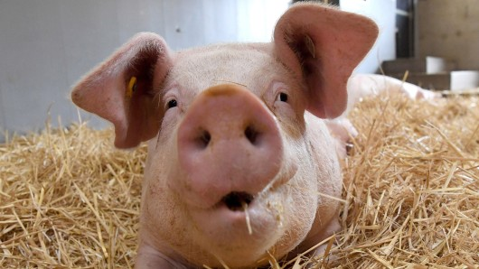 Ein 24 Jahre alter Mann hat gestanden, einen Schweinekopf vor einer Erstaufnahmeeinrichtung in Suhl gespießt zu haben. (Symbolbild)