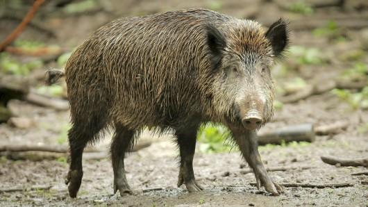 Auf der B90n bei Stadtilm ist ein Wildschwein von zwei Autos überfahren worden. (Symbolfoto)