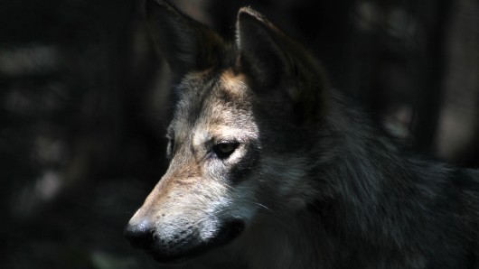 Hat die Wölfin in Ohrdruf erneut Nachwuchs? (Symbolbild)