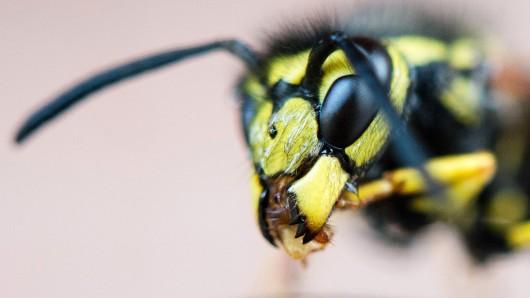 Eine Wespe hat in Gera für einen Unfall gesorgt. (Symbolbild)
