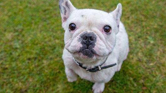 Eine französische Bulldogge konnte gerade noch vor einer Kreuzotter gerettet werden. (Symbolbild)
